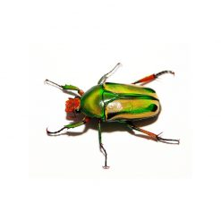 Coelorrhina hornimani