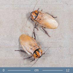 Eublaberus posticus - Aranycsótány