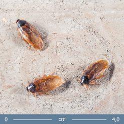 Pycnoscelus femapterus - Femapterous csótány
