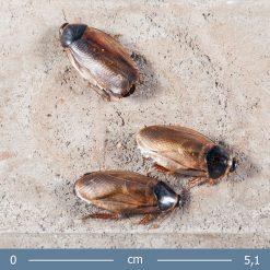 Pycnoscelus indicus