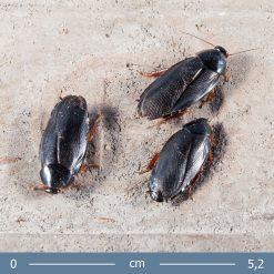 Pycnoscelus nigra - Árnyék csótány