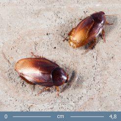 Pycnoscelus striatus - Parázs csótány