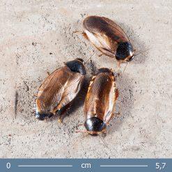 Pycnoscelus surinamensis - Szurinami csótány