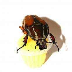 BeetleJelly - Bogárzselé - Ananász