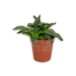 Cactus mix Sötétzöld kaktusz pozsgás növény | Mini
