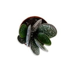 Cactus mix Nagy kerek levelű kaktusz pozsgás növény | Mini