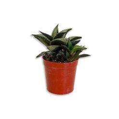 Haworthia venosa Szemölcsliliom pozsgás növény | Mini