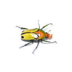 Coelorrhina pythia