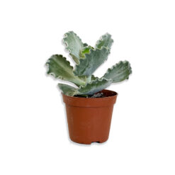 Cotyledon undulata Hullámlevél pozsgás növény | S