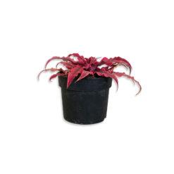 Cryptanthus Levélcsillag bromélia | S
