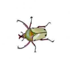 Eudicella hereroensis