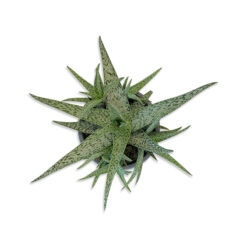 Haworthia Tőrózsa szukkulens növény | S
