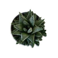 Haworthia attenuata Pettyes sávosfű szukkulens növény | S