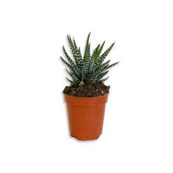 Haworthia Big Band Zebra kaktusz szukkulens növény | Mini