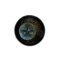 Lophopora williamsii Peyote gömbkaktusz pozsgás növény | Mini