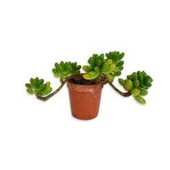 Crassula Húsos levelű kaktusz pozsgás növény | Mini