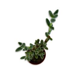 Crassula Szőrös levelű kaktusz pozsgás növény | Mini