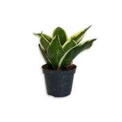 Sansevieria trifasciata Hahnii Törpe anyósnyelv növény | Mini