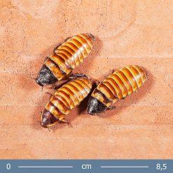 Törpe sziszegő csótány - Elliptorhina chopardi